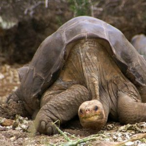 Giant tortoise provides insights into longevity and age-related disease