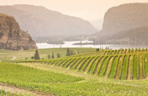 UBC researchers develop strategy to protect wine grapes from smoke-taint